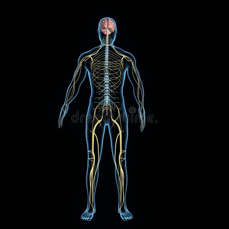 Zenuwstelsel vector illustratie