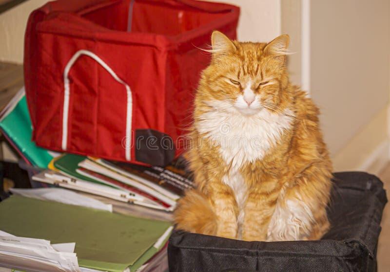 Zenzero e gatto bianco che si siedono sulla scatola nera immagini stock