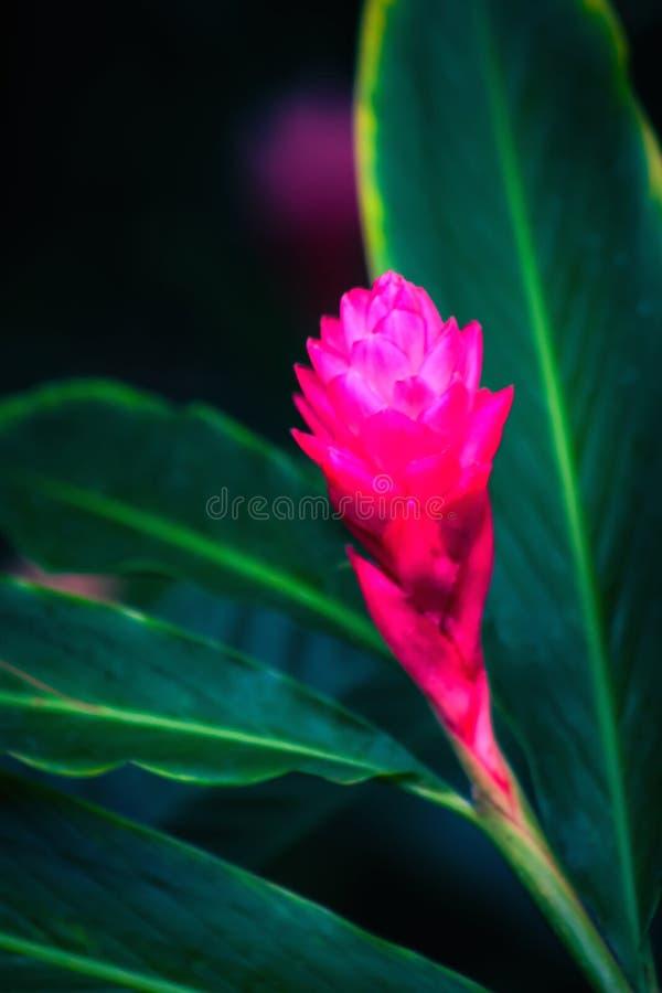 Zenzero rosa del cono immagini stock
