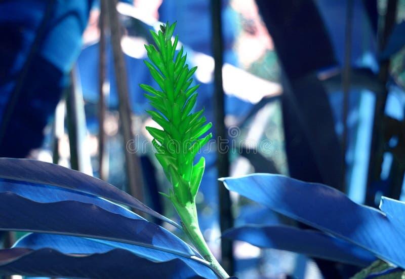 Zenzero verde con le foglie blu fotografie stock libere da diritti