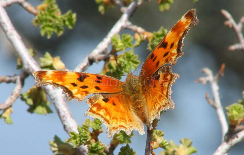 Zephyr Anglewing Hoary Comma Butterfly stock photo