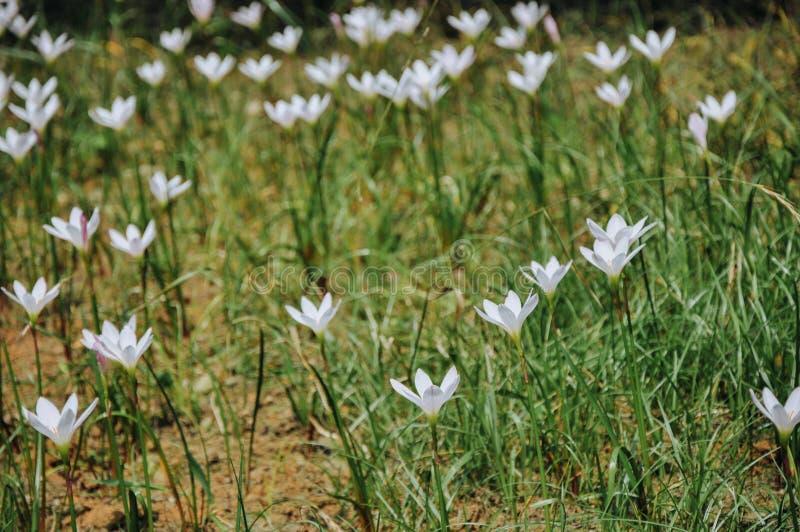 Zephyranthes开花在夏天的假丝酵母花 免版税库存照片