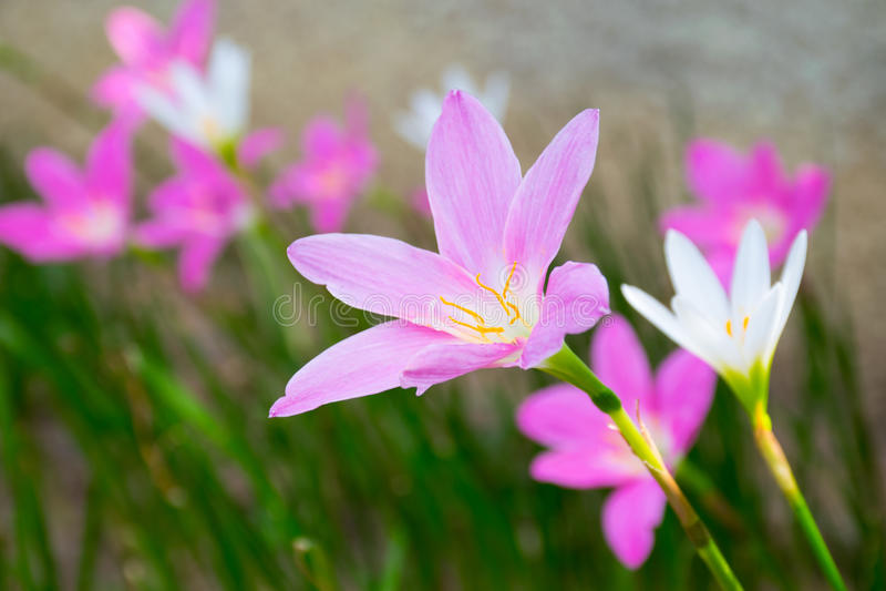 Zephyranthes stock foto
