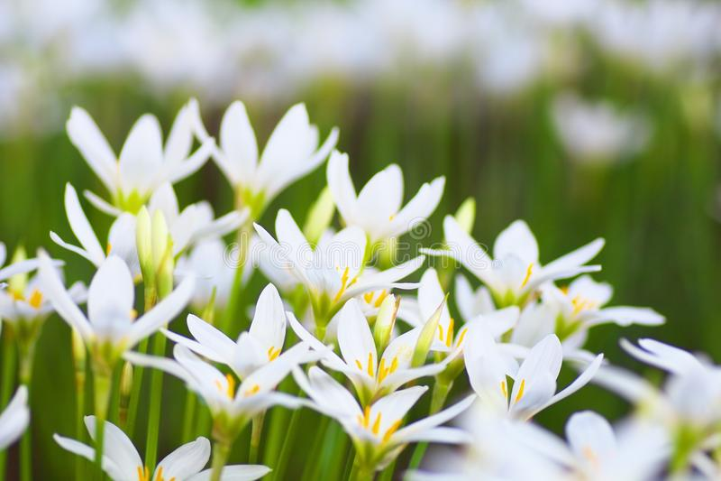 Zephyranthes blommor royaltyfri bild