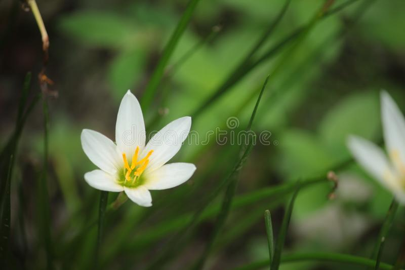 zephyranthes candida fotografia stock