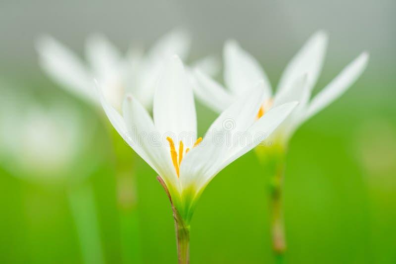 Zephyranthes Candida Kraut stockbild