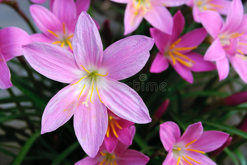 Zephyranthes grandiflora imagem de stock royalty free