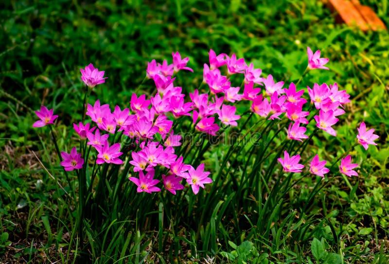 Zephyranthes grandiflora, erva das flores que cresce acima no jardim fotos de stock