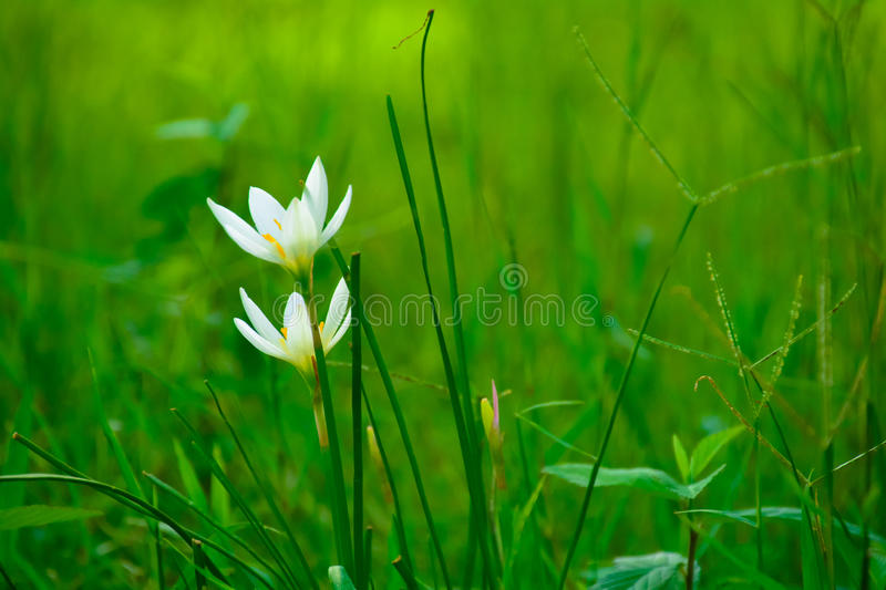 Zephyranthes grandiflora Lindl flower. Grandiflora Lindl. (Zephyranthes) is a perennial herb. Bulb oval, with light brown skin. The number of leaves were flat stock images