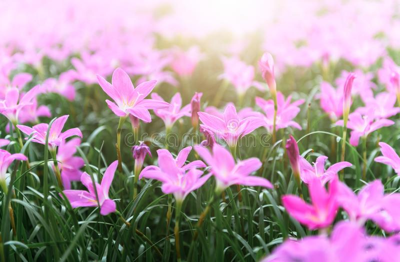 Zephyranthes grandiflora rosa blommor eller felik lilja arkivbild