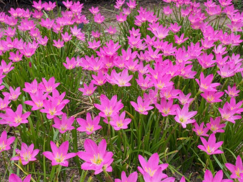 Zephyranthes grandiflora roze bloem in zomer stock fotografie