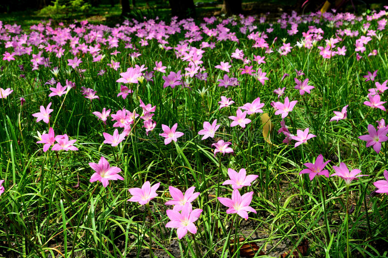 Zephyranthes Lily or Rain Lily royalty free stock photo