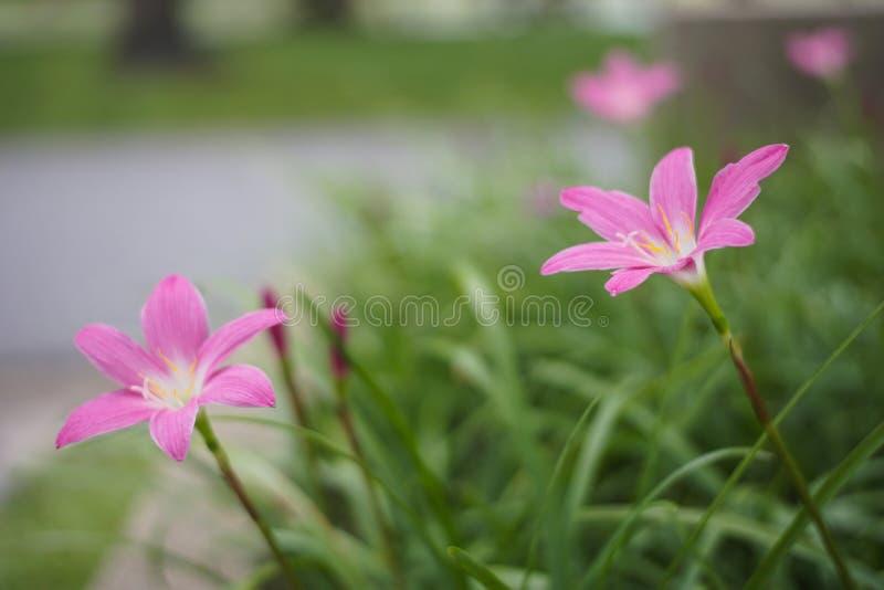 Zephyranthes rosados grandiflora fotos de archivo