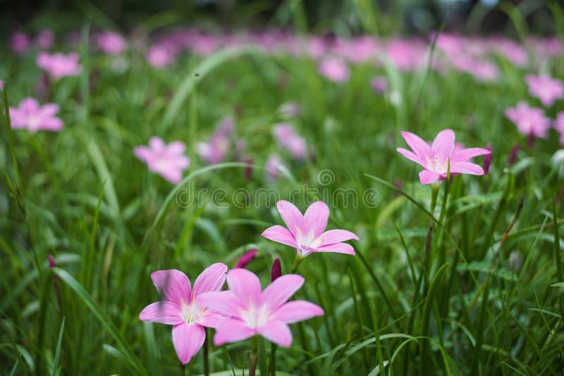 Zephyranthes rosados grandiflora fotografía de archivo