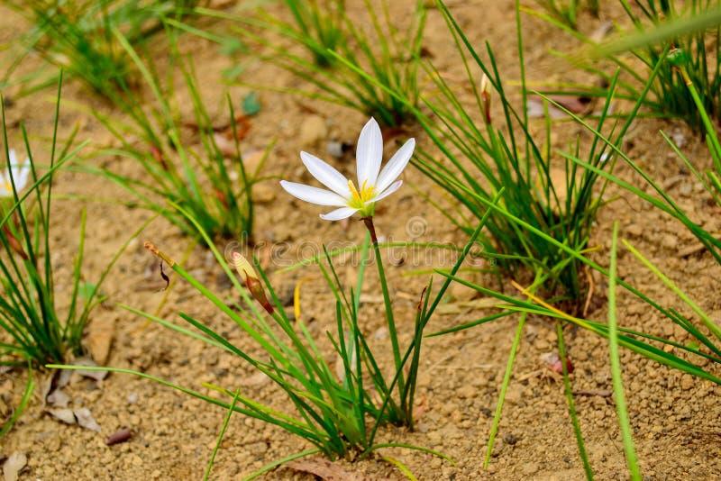 Zephyranthescandida of witte regenlelie stock fotografie
