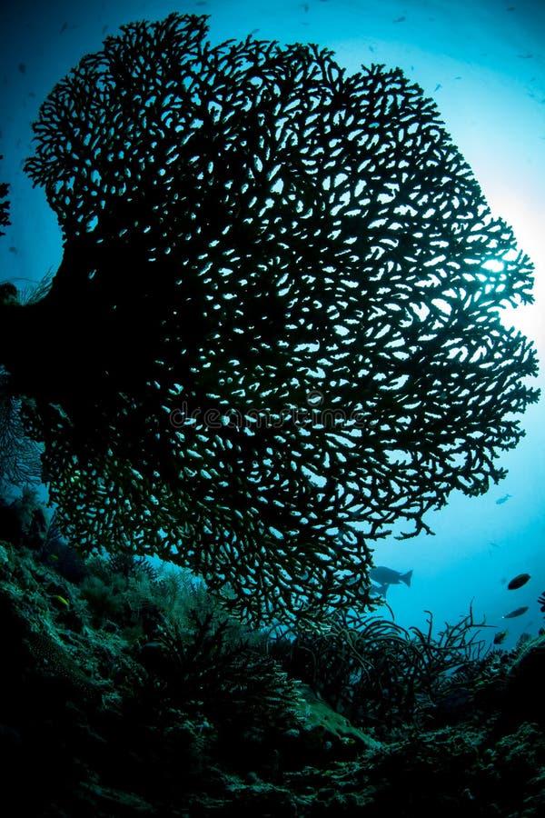 Zerbrechliche aber gesunde Coral Colony in Raja Ampat stockbild