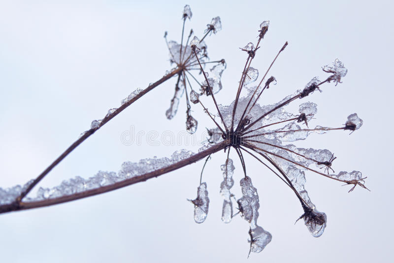 Zerbrechliche Anlage bedeckt mit Eis- und Schneekristallen stockbild