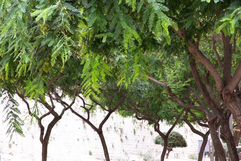 Zerbrechliche Bäume mit grünen Blättern lizenzfreie stockfotos