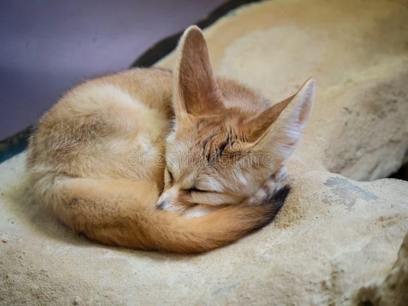 Zerda de vulpes de renard de Fennec dormant paisiblement dans courbé vers le haut de la position image libre de droits