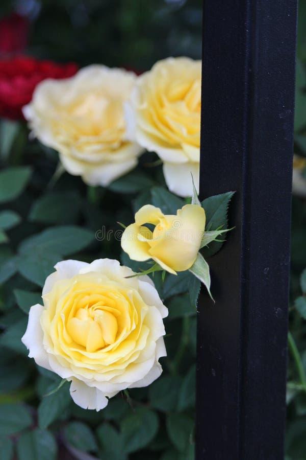 Zerkanie koloru żółtego róża fotografia royalty free