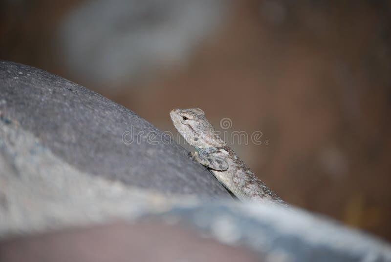Zerknięcie okrzyki niezadowolenia jaszczurka fotografia royalty free