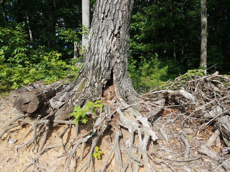 Zerlegungsbaum mit den Wurzeln herausgestellt stockfoto