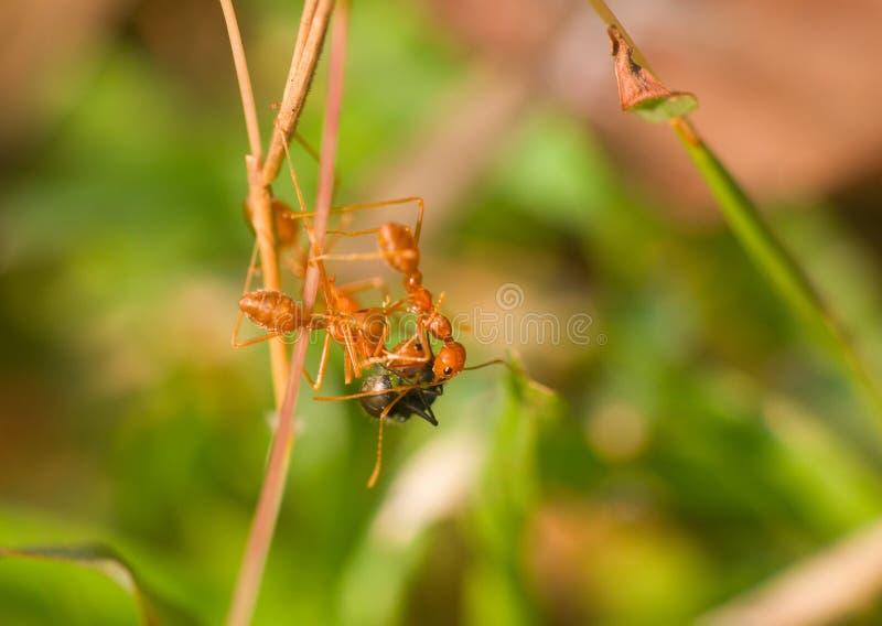 Zerreißen drei rote Ameisen gefangener Spion einer anderen Spezies und es auseinander stockfotos