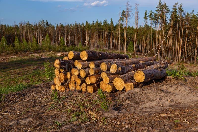 Zerstörung eines Kiefernwaldes durch die Protokollierung lizenzfreies stockfoto