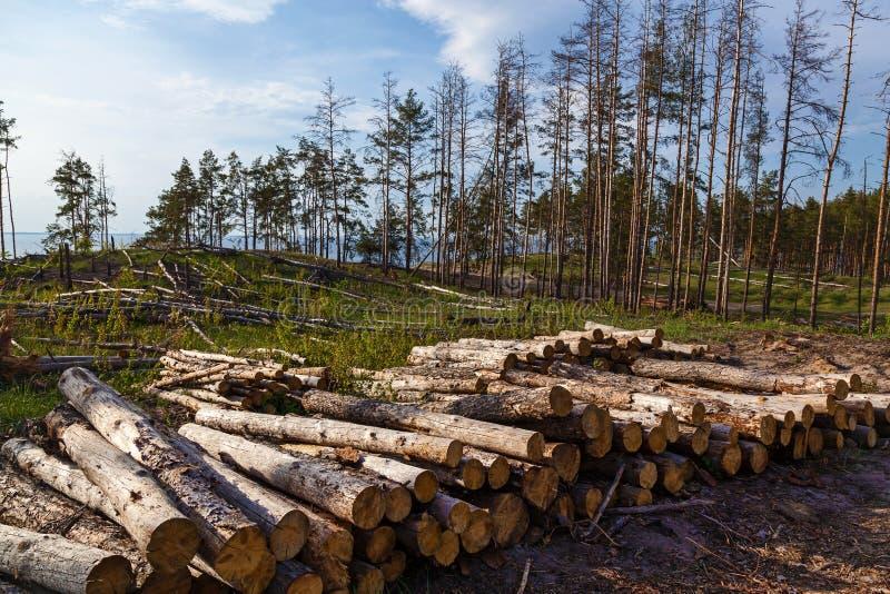 Zerstörung eines Kiefernwaldes durch die Protokollierung stockfoto