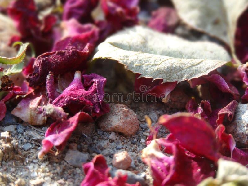 Zerstreute rote Rosen mit einem Blatt stockfotos