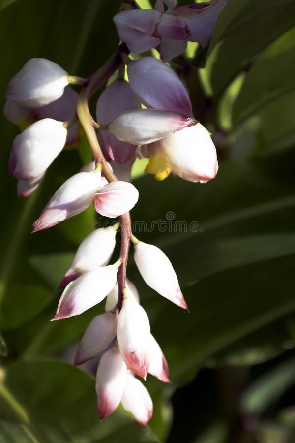 Zerumbet d'Alpinia, généralement connu sous le nom de gingembre de coquille à Varadero, le Cuba photographie stock libre de droits