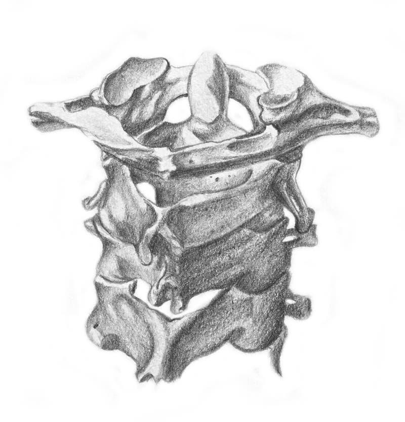 Zervikale Wirbel - Skelett lizenzfreie abbildung