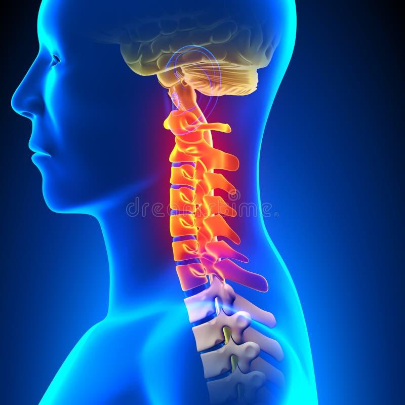 Zervikales Dorn-Anatomie-Schmerzkonzept lizenzfreie abbildung