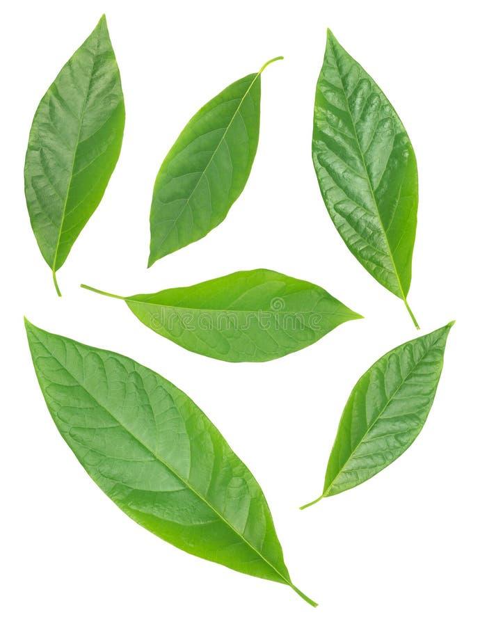 Zes avocado groene die bladeren over wit worden geïsoleerd stock afbeeldingen