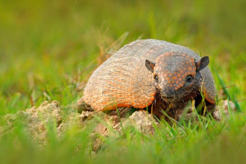Zes-gestreept Gordeldier, Geel Gordeldier, Euphractus-sexcinctus, Pantanal, Brazilië Het wildscène van aard Grappig portret van W royalty-vrije stock foto's