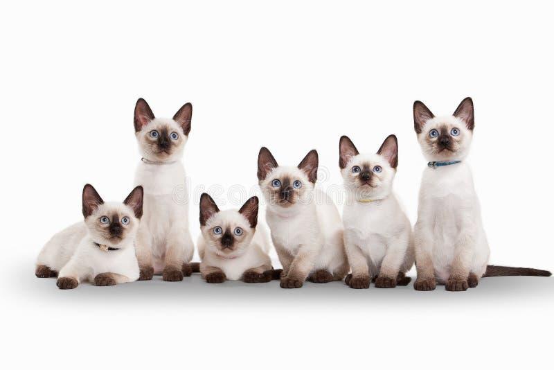 Zes kleine Thaise katjes op witte achtergrond royalty-vrije stock afbeeldingen