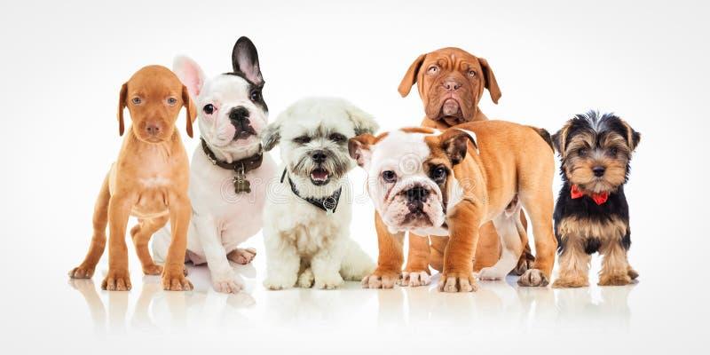 Zes leuke puppyhonden van verschillende rassen die zich verenigen stock foto's