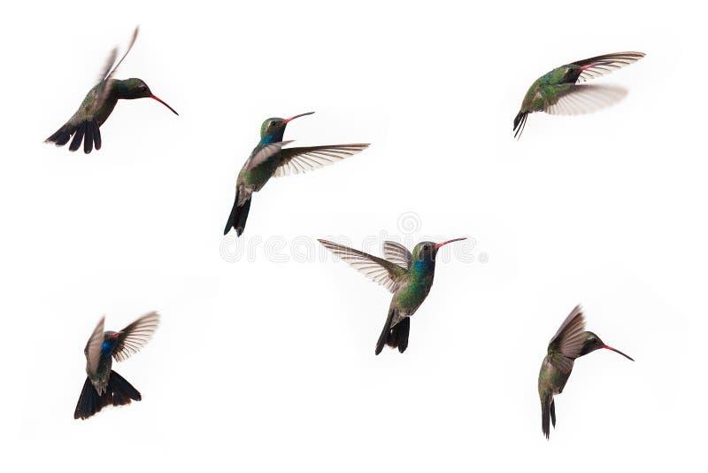 Zes tijdens de vlucht gevangen kolibries stock fotografie