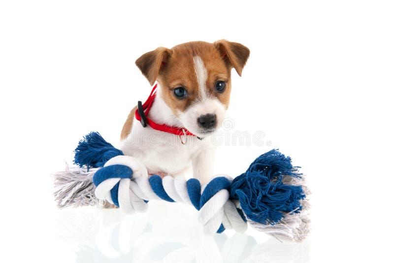 Het puppy van Jack Russel met het kauwen van kabel royalty-vrije stock fotografie