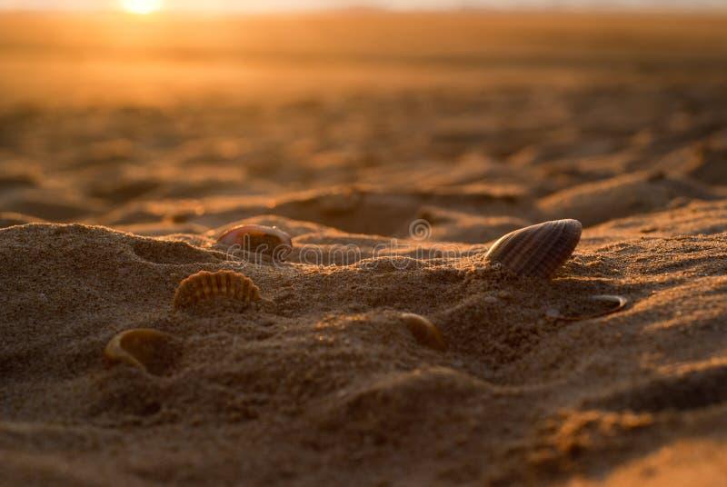 Zes zeeschelpen op gouden zand stock afbeelding