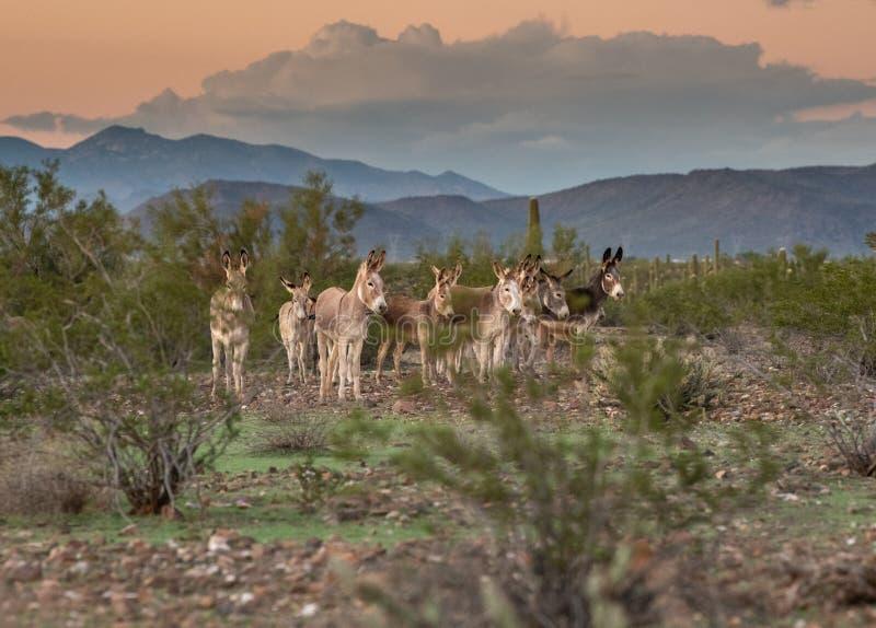 Zespół dzikie nory w pustyni zdjęcie stock
