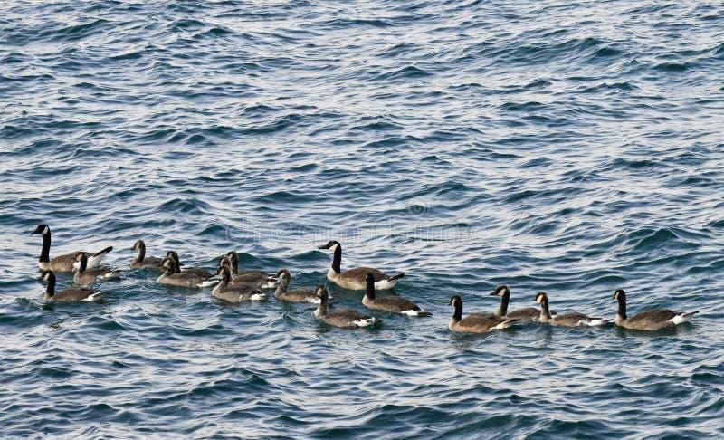 Zespół gąski na jezioro michigan obrazy royalty free