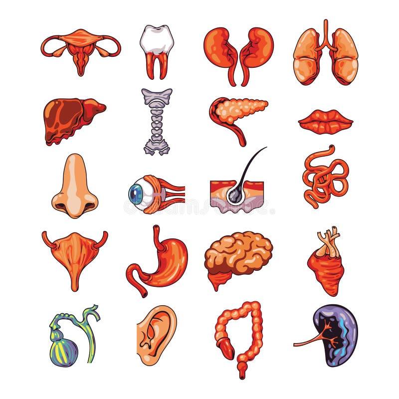 Zestaw wewnętrznych narządów ludzkich, w tym mózgu, serca, wątroby, śledziony, nerek, układu rozrodczego, ilustracji wektor royalty ilustracja
