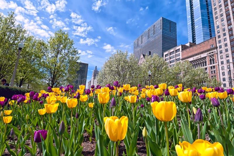 Zestawienie wibrujący tulipany przeciw pejzażowi miejskiemu Chicago zdjęcia royalty free
