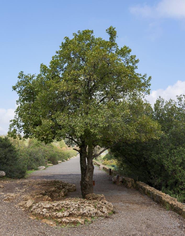 Zet de Eiken Boom van Tabor in Golan Heights op royalty-vrije stock foto
