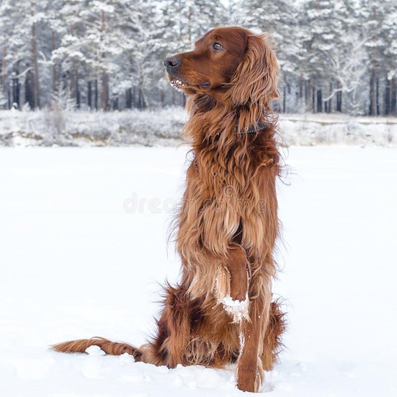 Zetter in de sneeuw. stock afbeelding