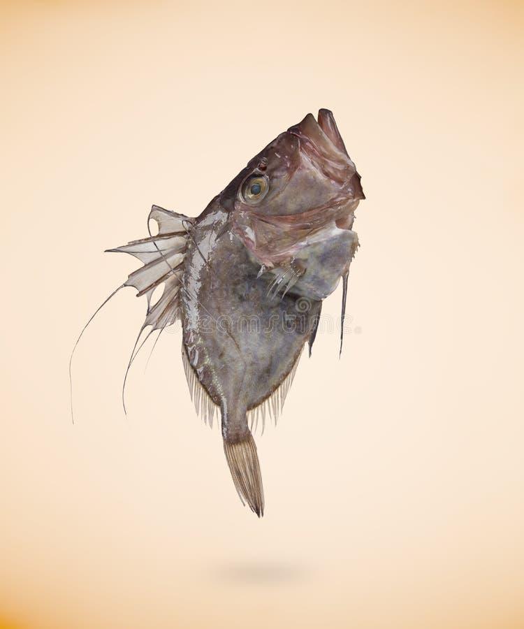 Zeus Faber John Dory-Fische, lokalisiert auf Beige lizenzfreies stockfoto