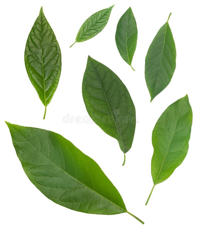 Zeven avocado groene die bladeren over wit worden geïsoleerd stock afbeelding