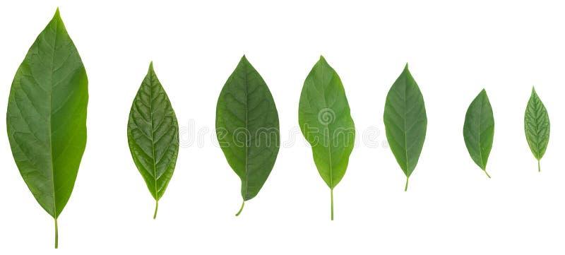 Zeven avocado groene die bladeren over wit worden ge?soleerd royalty-vrije stock afbeelding