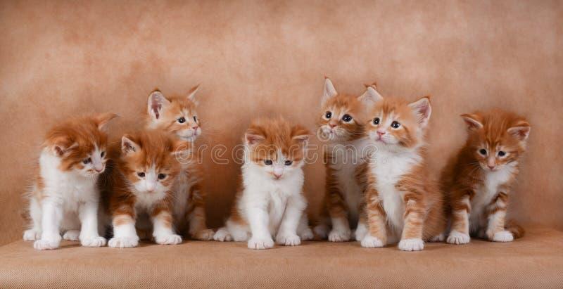 Zeven gemberkatjes die op een beige achtergrond zitten royalty-vrije stock afbeelding